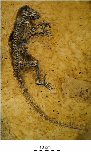 En av våre eldste kjente aner har fått navnet Ida, et 60 cm langt og 47 millioner år gammelt fossil funnet i Tyskland og utstilt på naturhistorisk museum i Oslo. Hennes kroppsform og anatomi antyder at hun ligger så godt som innerst inne på den grenen mennesket deler med apene. Les egen artikkel på forskning.no